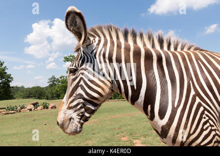 Zebra close up taken from car in National Park. - Stock Photo