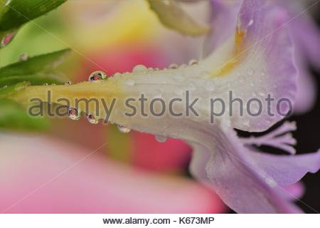 white and purple flower, with water drops on and flower reflections, photography image, close up. macro, pastel - Stock Photo