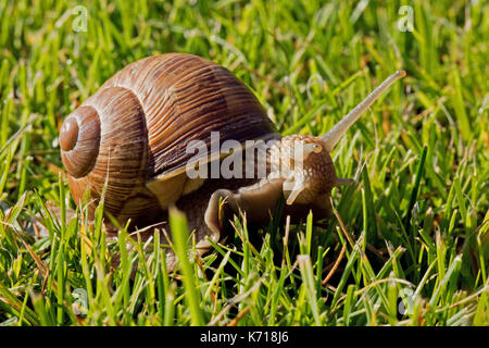 Snail with beautiful shell and protruding antennae and head crawling on the lawn. Summer in Poland. Close, horizontal - Stock Photo