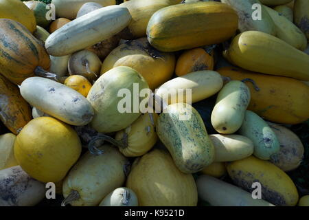 Harvest pumpkins stacked in a large pile. Pumpkins of various sizes, shapes and colors. Fodder for livestock. - Stock Photo