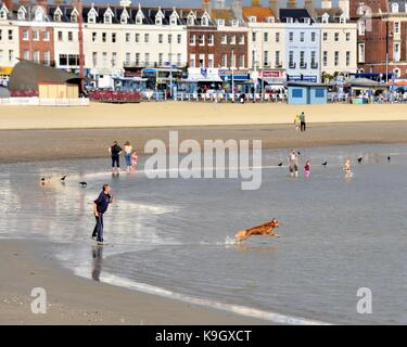 A dog leaping into the sea after a ball throwm by it's owner Weymouth beach Dorset England UK - Stock Photo