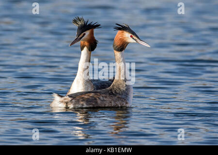 Great Crested Grebes (Podiceps cristatus) in head shaking courtship display, Cambridgeshier - Stock Photo