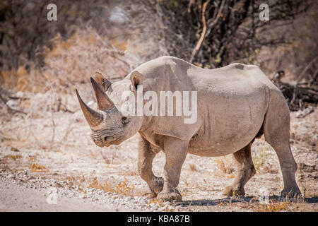 Black rhinoceros, Etosha National Park, Namibia - Stock Photo