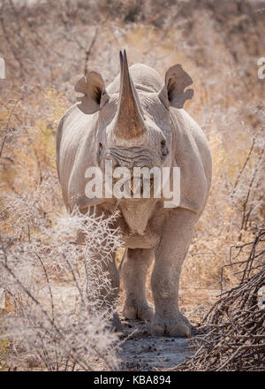 Black rhinoceros eating browse, Etosha National Park, Namibia - Stock Photo