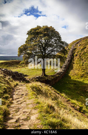 The Sycamore Gap tree at Winshields on Hadrian's Wall,the 2nd Century Roman defensive fortification, Northumberland, - Stock Photo