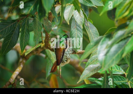 Rufous tailed hummingbird feeding her young ones in their nest - Stock Photo