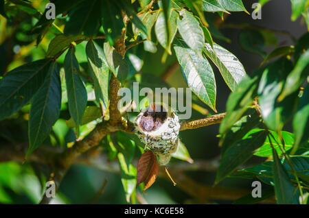 Rufous tailed hummingbird young ones in their nest constructed from plant-fibre and dead leaves and decorated with - Stock Photo
