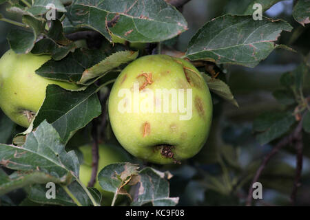 ripe apples before harvesting damaged by hail stones,image of a - Stock Photo