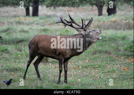 London, UK. 4th October , 2017. UK weather. A stag roars as red deer take part in the annual rut in Richmond Park - Stock Photo