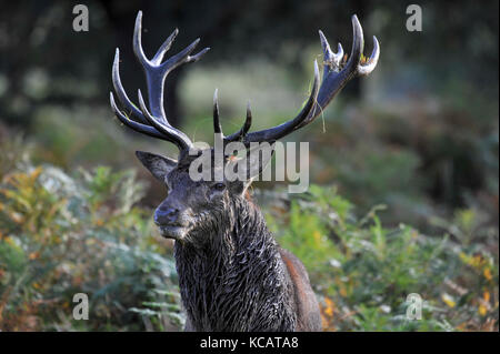 London, UK. 4th October , 2017. UK weather. A stag sits amongst ferns as red deer take part in the annual rut in - Stock Photo