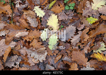 Autumn motive / Beautiful multi-colored maple leaves - Stock Photo