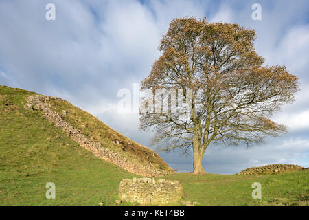 Sycamore Gap on Hadrian's Wall, Northumberland, England, UK - Stock Photo