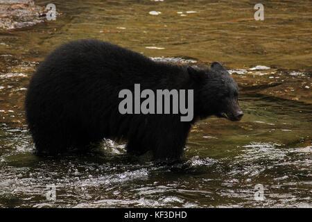 port alberni black singles When marije and i drove across canada last year we saw several black bears in jasper np black bear watching in port alberni.