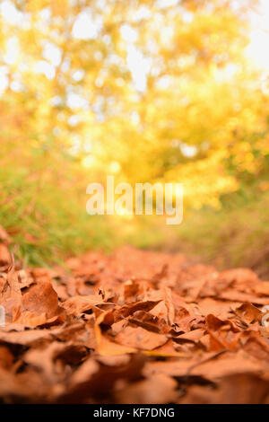Bed of brown autumn leaves on the path through the woods at the golden hour - Stock Photo