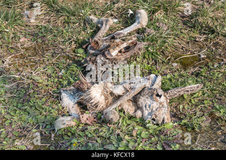 Decomposition of Hare Carcass on Green Field. - Stock Photo