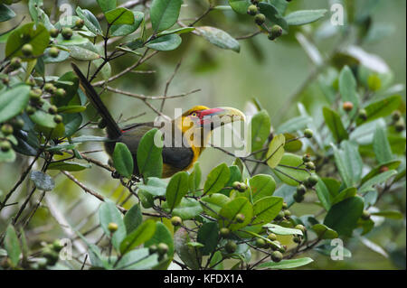 A Saffron Toucanet from the Atlantic Rainforest eating native fruits in the canopy - Stock Photo
