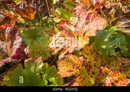 Leaves of the Rheum rhabarbarum in close-up. - Stock Photo