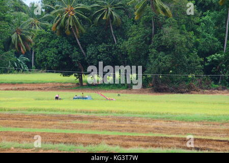 Half harvested Paddy rice field in Thailand - Stock Photo