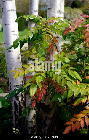 winter garden, winter, garden, Betula utilis jacquemontii, West Himalayan birch,white bark, orange, green, mahonia - Stock Photo