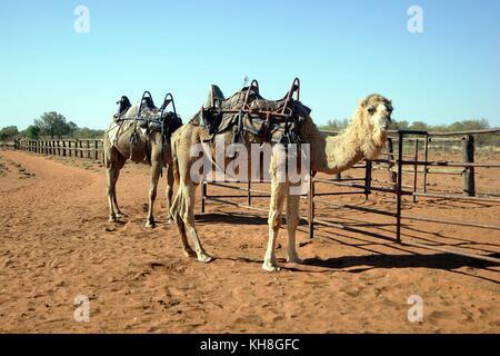 Camel Farm, Alice Springs, Australia - Stock Photo