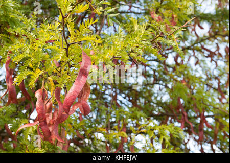 Honey locust tree medicinal uses