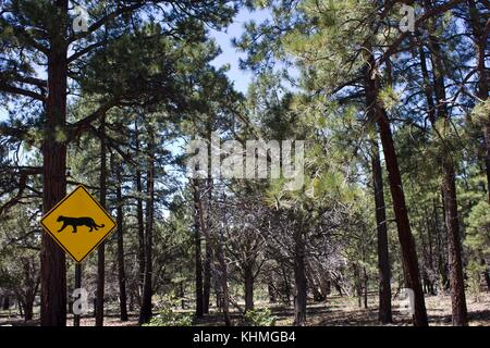 ARIZONA, USA - AUG 7 2013: Leopard warning road sign on the mountain for going to the grand Canyon to Yosemite National - Stock Photo