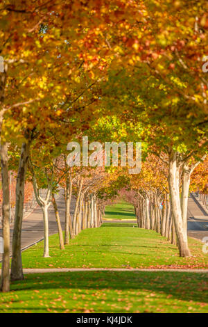 Landscaped avenue seen during autumn season with leaves of ocher, yellow, orange and red trees in Cáceres, Extremadura, - Stock Photo