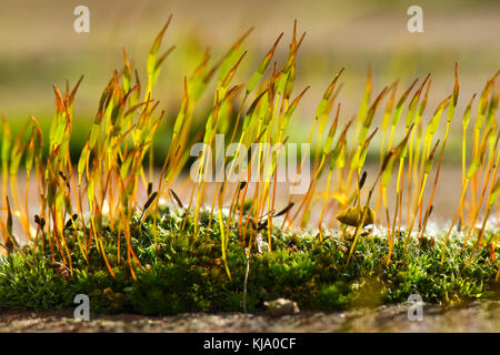 Young sporophytes of wall screw-moss, Tortula muralis, growing from the gametophyte cushion on a garden wall - Stock Photo