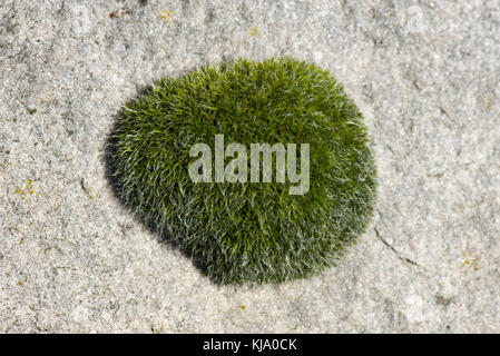 Gametophyte cusion of wall screw-moss, Tortula muralis, growing on a large sarson stone, Berkshire, March - Stock Photo