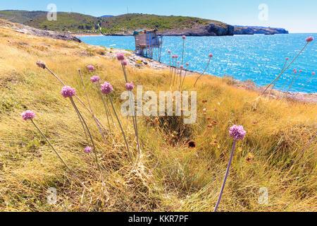 Blossoming wild garlic in front of an old trabucco. Manaccora, Apulia(Puglia), Italy. - Stock Photo