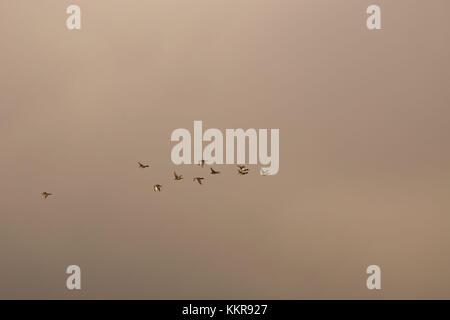 Flock of mallard ducks flying in the autumn grey sky - Stock Photo