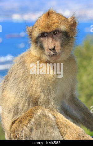 Barbary macaques on the Rock of Gibraltar - Stock Photo
