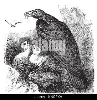 Golden eagle or Aquila chrysaetos vintage engraving, vector  Old engraved illustration of a golden eagle feeding - Stock Photo