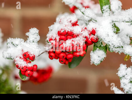 Bunch of rowanberries covered by snow - Stock Photo