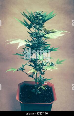 Cannabis female plant in flowerpot, Indica dominant hybrid in flowering stage. - Stock Photo