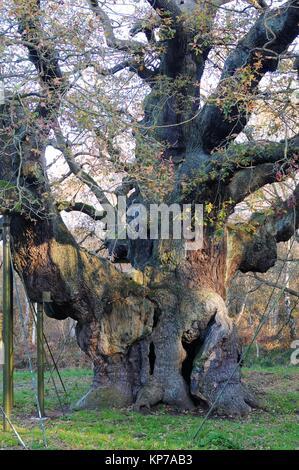 Major Oak, Sherwood Forest, Nottinghamshire, England - Stock Photo