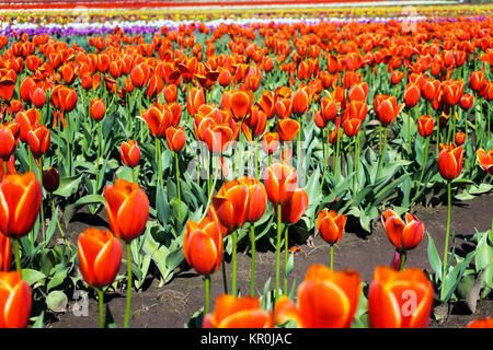 Low Angle Tulip View - Stock Photo