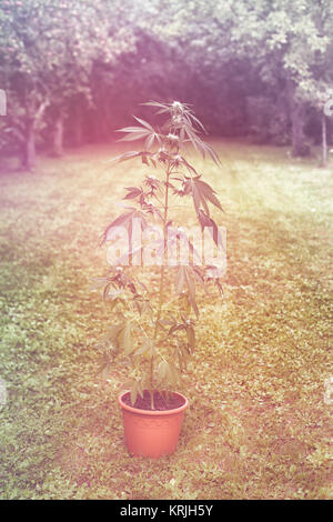 Cannabis plant in flowerpot outdoors - Stock Photo