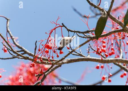 Honeyeater - Stock Photo