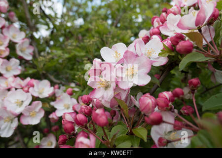 Apple tree malus domestica flowering apple tree in a for Domestica in svizzera