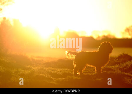Working cocker spaniel with winter sun - Stock Photo