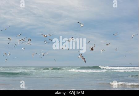 A flock of seagulls flying over the ocean at Salmon Creek Beach in Bodega Bay, California, USA. - Stock Photo