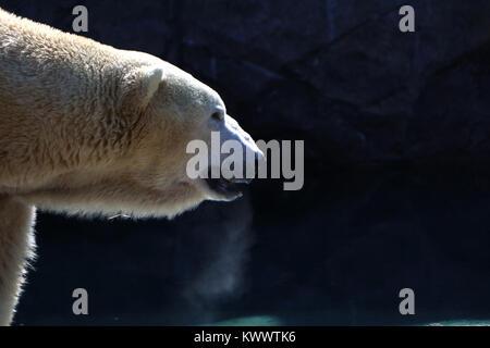Polar bear Cincinnati Zoo captive breading - Stock Photo