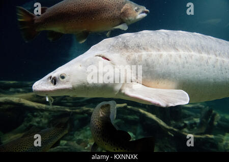 The oldest fish of the museum 'Ozeaneum' swims around in Stralsund, Germany, 10 January 2017. He was accidentally - Stock Photo
