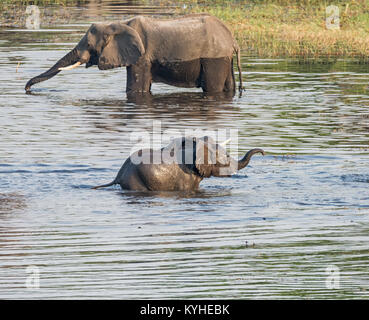 Baby Elephants playing in a river in Namibia - Stock Photo