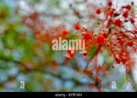 Illawarra flame tree (Brachychiton acerifolius) flowers, Riverway, Townsville, Queensland, Australia - Stock Photo