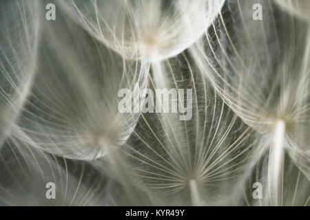 Abstract, fine art, macro, extreme close-up of dandelion seed in low light, with detailed lace-like patterns and - Stock Photo