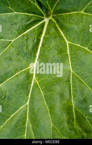 Rhubarb leaf full frame background - Stock Photo