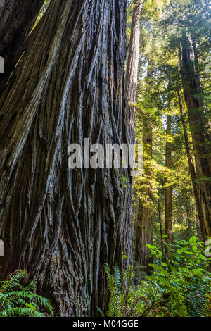 Looking up at a large Redwood tree. Redwood National Park, California, USA. - Stock Photo