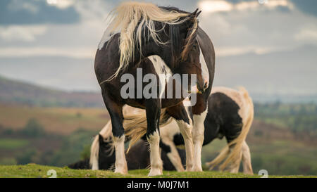 Wild horses near Hay Bluff and Twmpa in the Black Mountains, Brecon Beacons, Wales, UK - Stock Photo